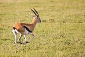Thomson Gazelle Running in Serengeti — Stock Photo