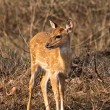 Baby Axis Deer in Bandipur National Park — Stok Fotoğraf #2188390