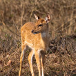 Stock Photo: Baby Axis Deer in Bandipur National Park