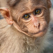 Baby Bonnet Macaque — 图库照片