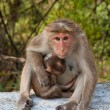 Stock Photo: Bonnet Macaque Mother