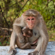 Bonnet Macaque Mother - Stock Photo