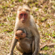 Bonnet Macaque Nursing - Stock Photo