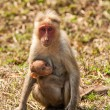 Stock Photo: Bonnet Macaque Nursing