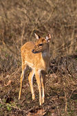 Baby Axis Deer in Bandipur National Park — Stock Photo
