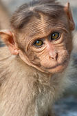 Baby Bonnet Macaque — Stock Photo