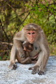 Bonnet Macaque Mother — Stockfoto