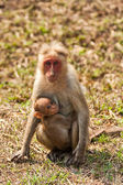 Bonnet Macaque Nursing — Stockfoto