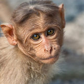 Baby Bonnet Macaque Portrait — 图库照片