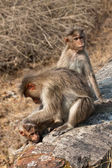 Bonnet Macaque Family Grooming — Stock Photo