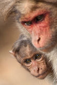 Baby Bonnet Macaque Peeking — Stockfoto