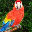 Scarlet Macaw Perched — 图库照片