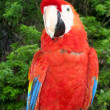 Scarlet Macaw Perched — Foto de Stock