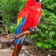 Scarlet Macaw Perched — Stock Photo #2311012