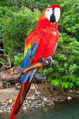 Scarlet Macaw Perched — Stockfoto
