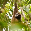 lar gibbon — Stock Photo