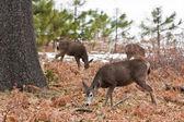 Mule Deer in Yosemite — Stock Photo