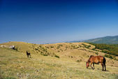 Horses browsing on a hill — Stock Photo