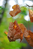 Dead vine leaf with blurred background — Stock Photo