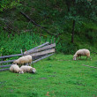 Sheeps on a field grazing - Stock Photo