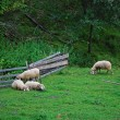 Sheeps on a field grazing — Stock Photo