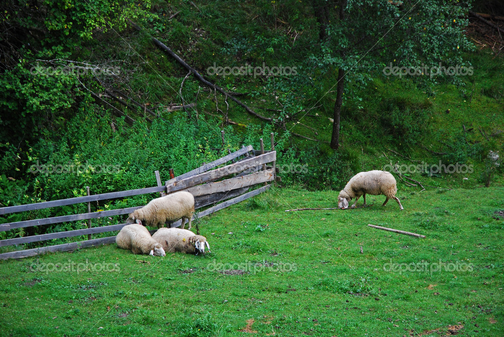 Sheeps on a field grazing — Stock Photo #2343761