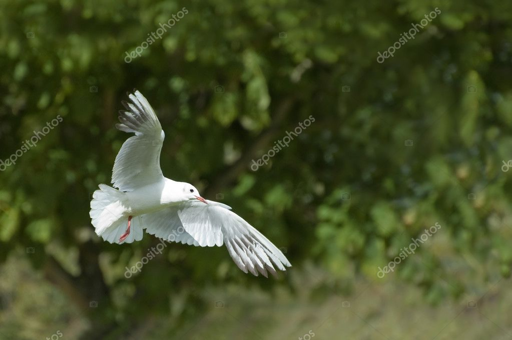 White dove; a symbol of peace and purity — Stock Photo #2079890