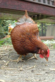 Farmyard hen — Stock Photo