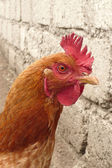 Farmyard rooster — Stock Photo