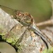 Stock Photo: dragonfly