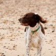 Springer spaniel — Stock Photo