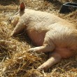 Stock Photo: Sleeping piglet