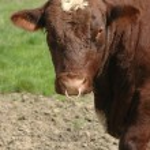 Livestock bull — Stock Photo