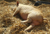 Sleeping piglet — Stock Photo