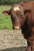 Toro de la ganadería — Foto de Stock