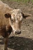 Kobiece krowa — Zdjęcie stockowe