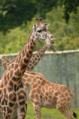 Captive giraffes — Stock Photo