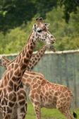 Captive giraffes — Stock Photo
