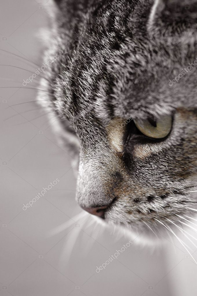 Tabby cat with a concentrated stare — Stock Photo #2096897