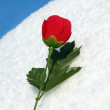 Rose on snow — Stock Photo