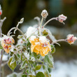 Winter roses — Stock Photo #2184604