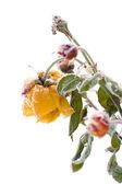 Winter rose — Stock Photo