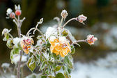 Winter roses — Stock Photo