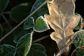 Frosted leaves — Stock Photo