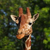Giraffe head portrait — Stock Photo