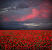 Field of red tulips — Stock Photo