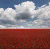Fältet av röda tulpaner — Stockfoto