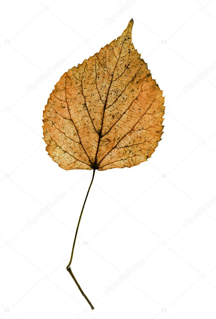 One tilia leaf isolated on white — Stock Photo #2058851