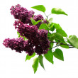Stock Photo: Purple lilacs