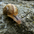 Snail on rock - Stock Photo